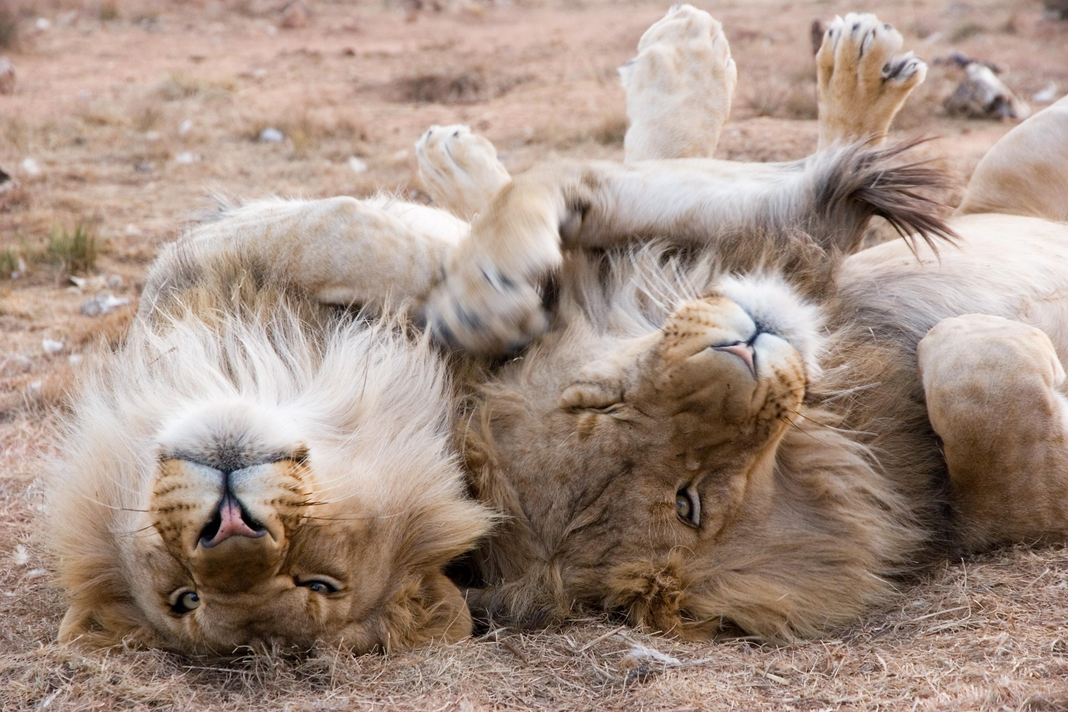 Lions in a Cape Town Safari